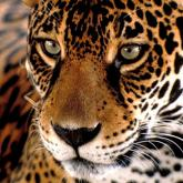 Rehabilitación de jaguares