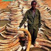 Tailandia se prepara para prohibir el comercio ilegal de marfil