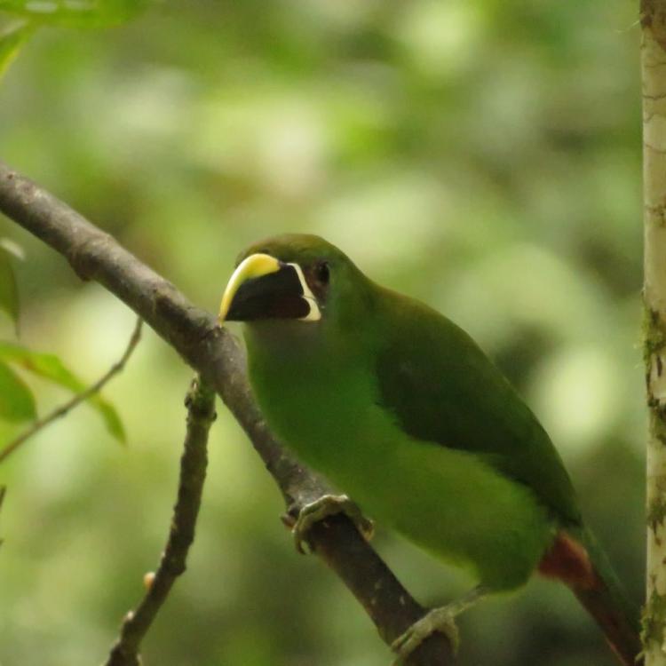 Tucán esmeralda